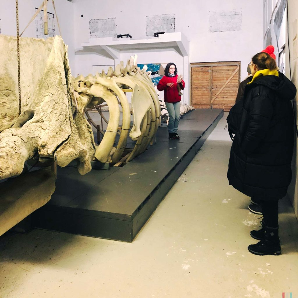 Winter Whale Watching in Norway: A sperm whale skeleton at the whale museum in Andenes.