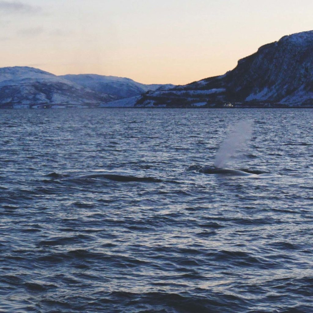 Winter Whale Watching in Norway: Humpback whales in the fjord of Kvænangen.