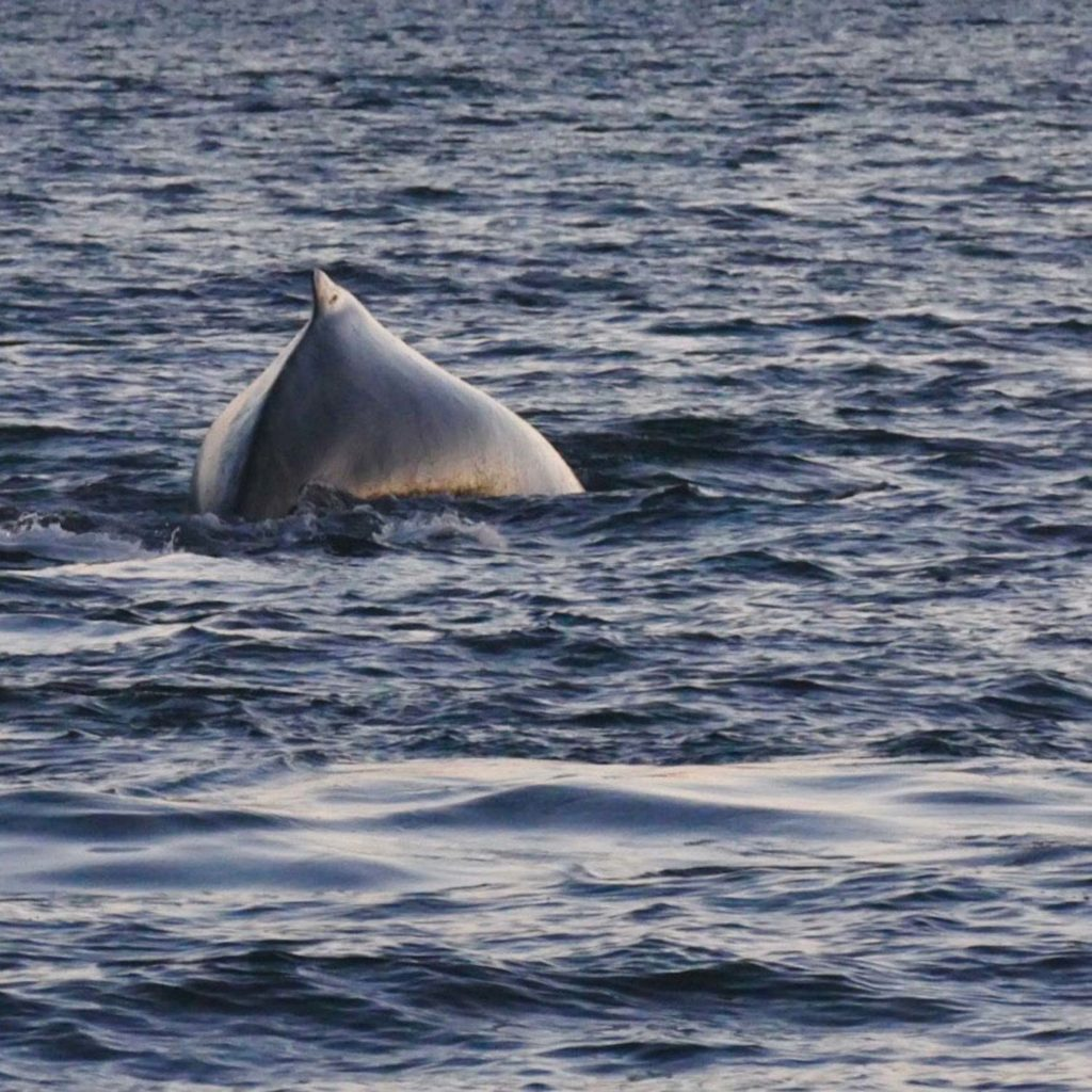 Winter Whale Watching in Norway: A humpback whale, going for a dive in the fjord of Kvænangen.
