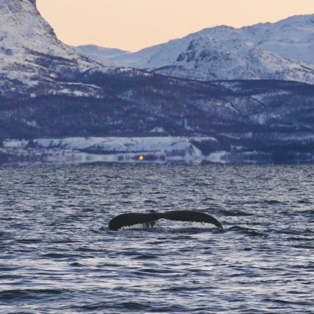 Winter Whale Watching in Norway: The mighty fluke of a humpback whale in the fjord of Kvænangen.