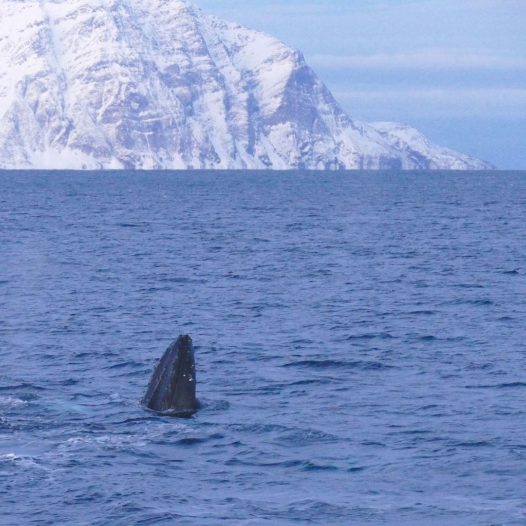 Winter Whale Watching in Norway: A humpback whale, spyhopping in the fjord of Skjervøy.