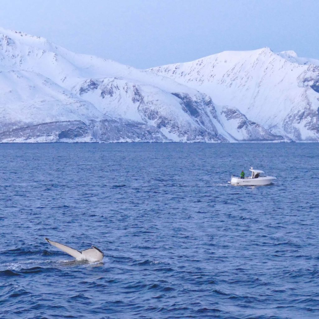 Winter Whale Watching in Norway: A humpback whale, diving next to a boat in the fjord of Skjervøy.