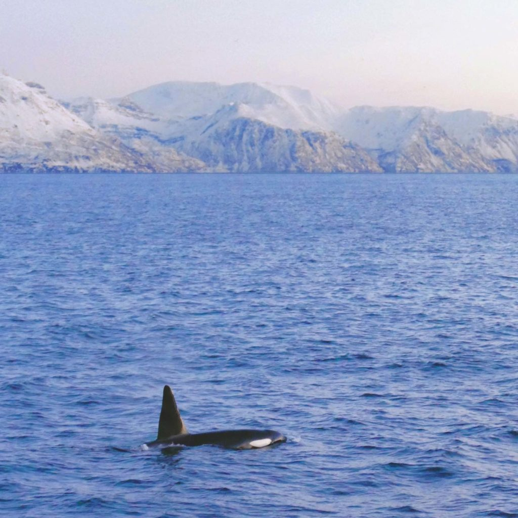 Winter Whale Watching in Norway: A male orca in Skjervøy.