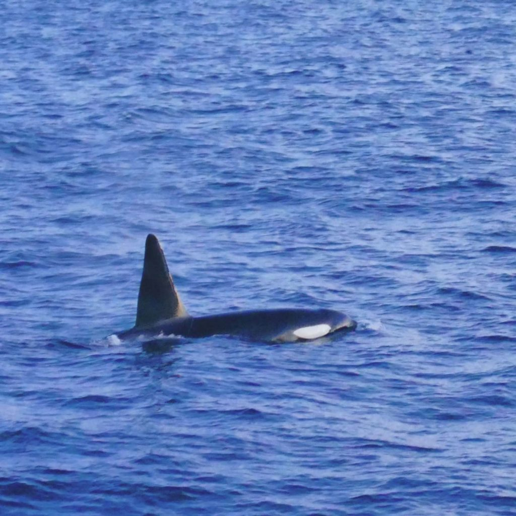 Winter Whale Watching in Norway: Orca bull, close to the boat in the fjord of Skjervøy.