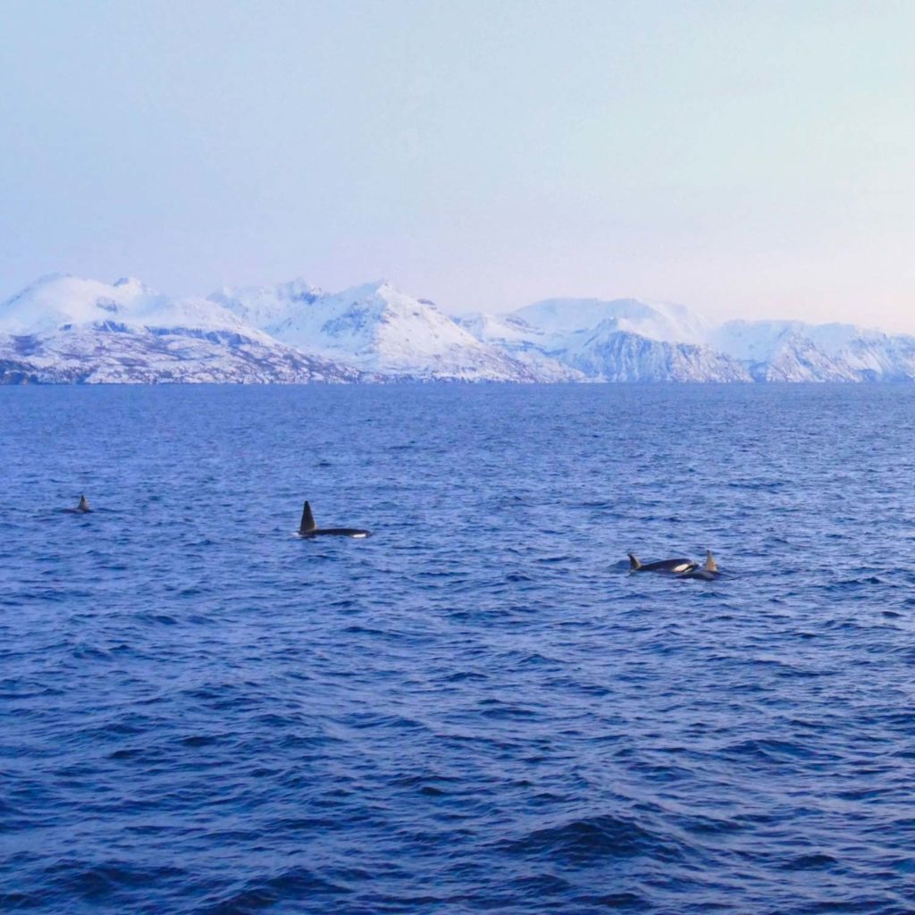 Winter Whale Watching in Norway: A small group of orcas, traveling the fjord of Skjervøy.