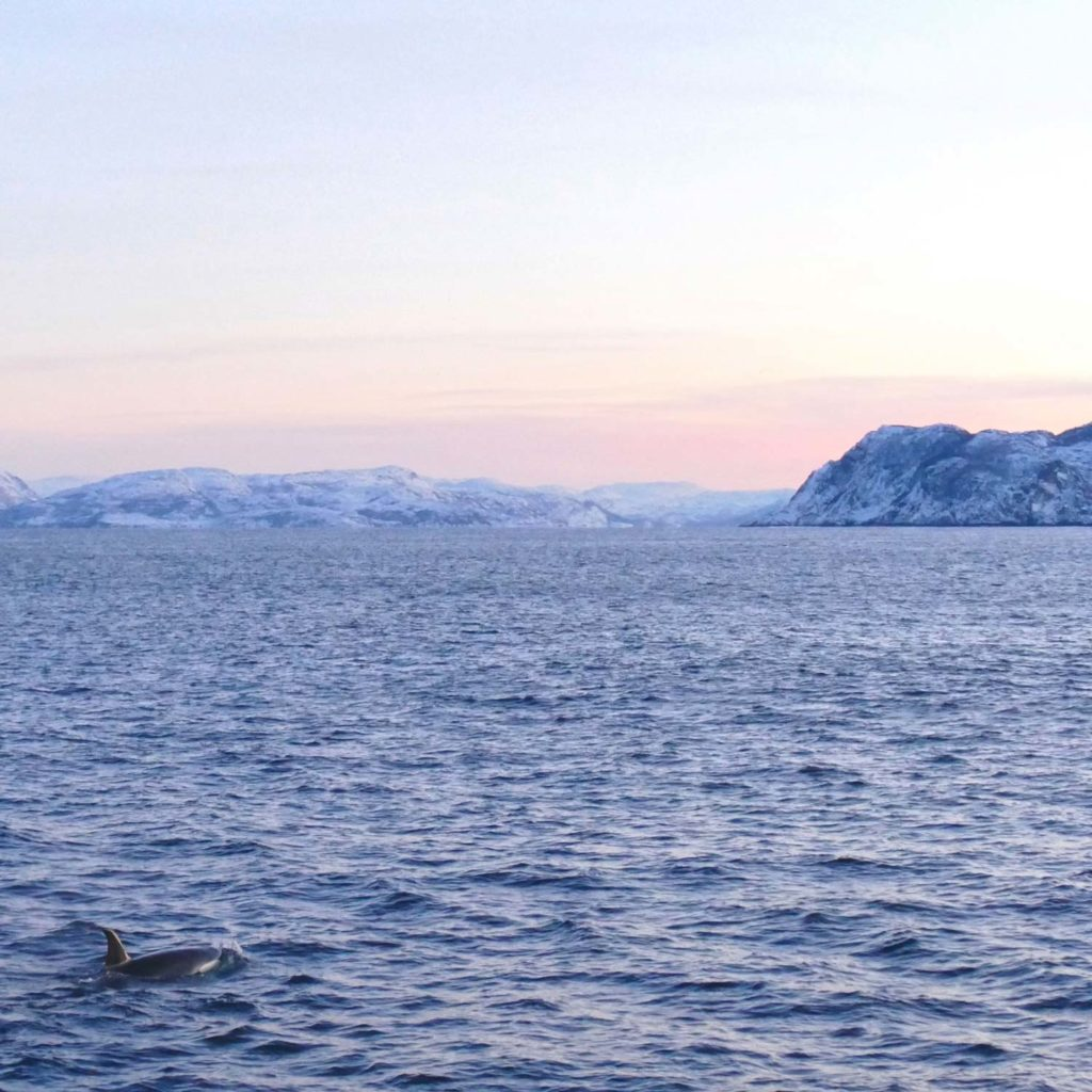 Winter Whale Watching in Norway: A lonely orca in the fjord of Skjervøy.