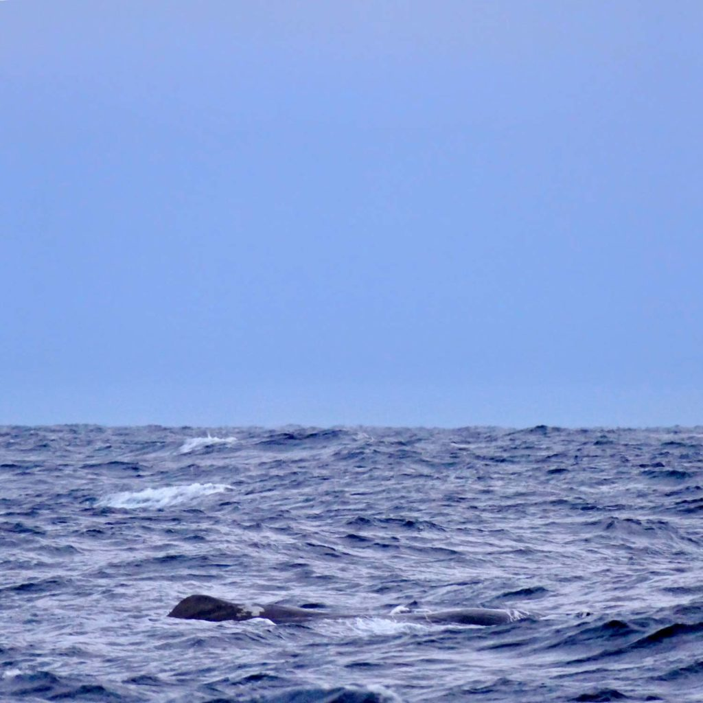 Winter Whale Watching in Norway: A sperm whale, resting at the coast of Andenes.