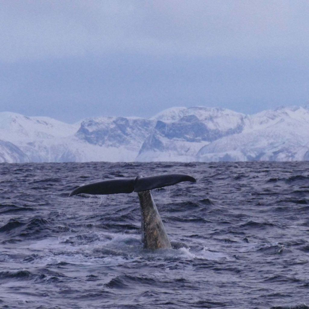 Winter Whale Watching in Norway: A sperm whale, showing the fluke at the coast of Andenes.