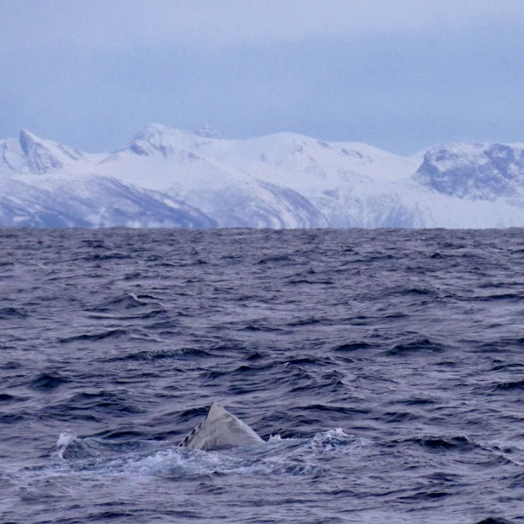 Winter Whale Watching in Norway: A sperm whale, diving at the coast of Andenes.
