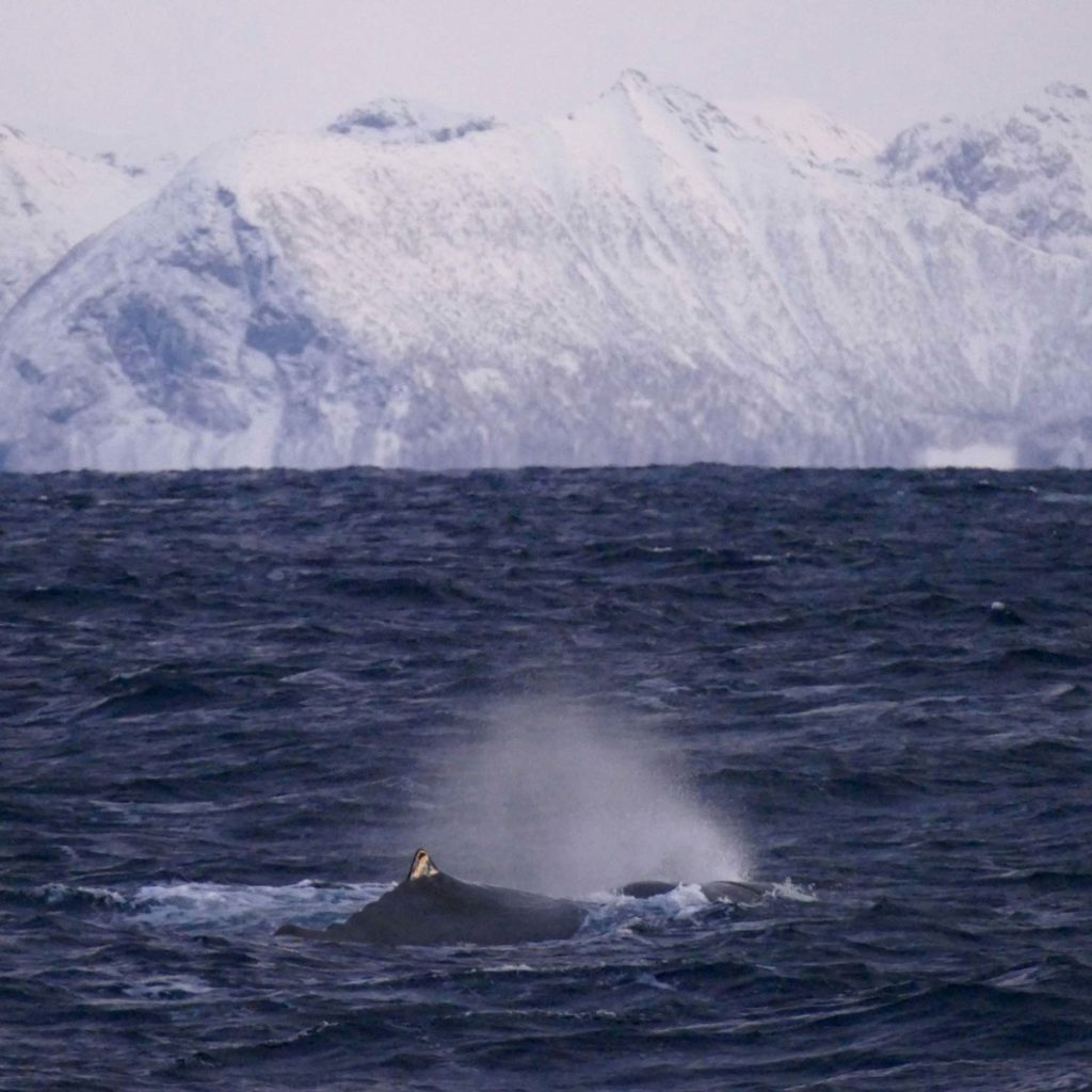 Winter Whale Watching in Norway: A sperm whale, breathing at the coast of Andenes.